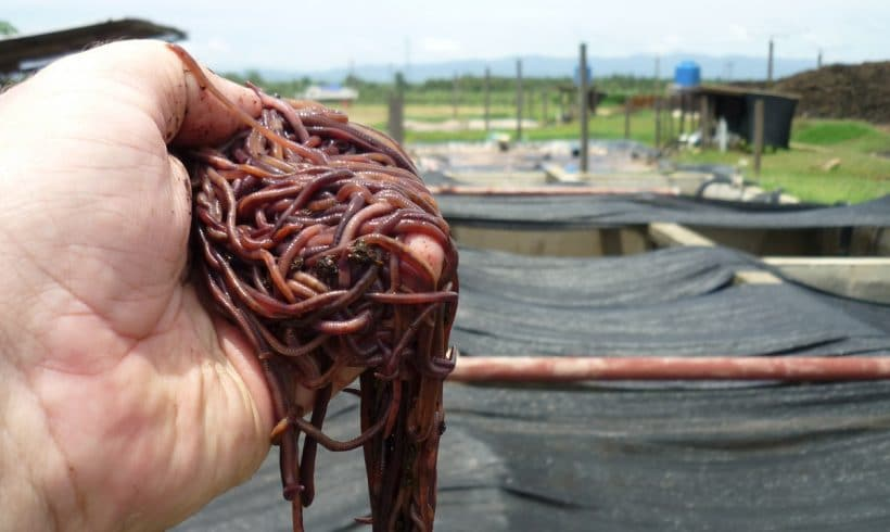 palm-oil-mill-waste-worms4