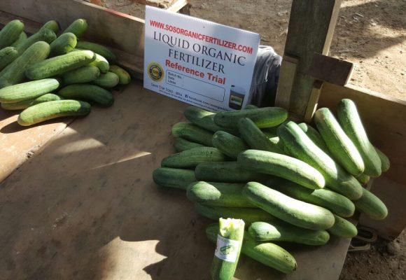 Reference Trial – Papar Vegetables Farm
