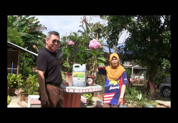 Organic Liquid Fertilizer Testimony Of Kg Merampong, Sabah, Malaysia (2)