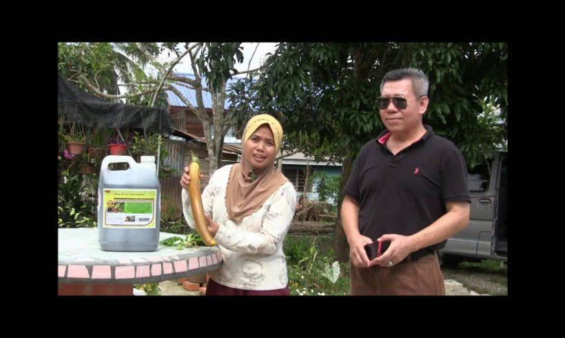 Organic Liquid Fertilizer Testimony Of Kg Merampong, Sabah, Malaysia (3)