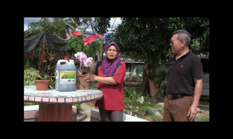 Organic Liquid Fertilizer Testimony Of Kg Merampong, Sabah, Malaysia (4)