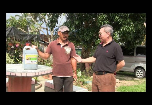 Organic Liquid Fertilizer Testimony Of Kg Merampong, Sabah, Malaysia (6)