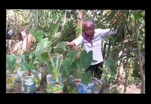 Organic Liquid Fertilizer Testimony Of Kg Merampong, Sabah, Malaysia (10)