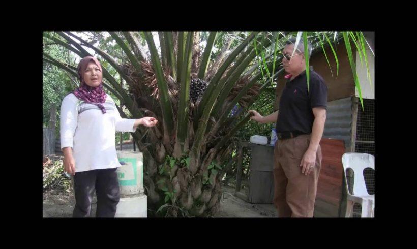 Organic Liquid Fertilizer Testimony Of Kg Merampong, Sabah, Malaysia (12)