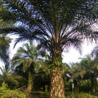 Organic Liquid Fertilizer Oil Palm Testimonial