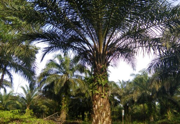 Organic Liquid Fertilizer Oil Palm Testimonial