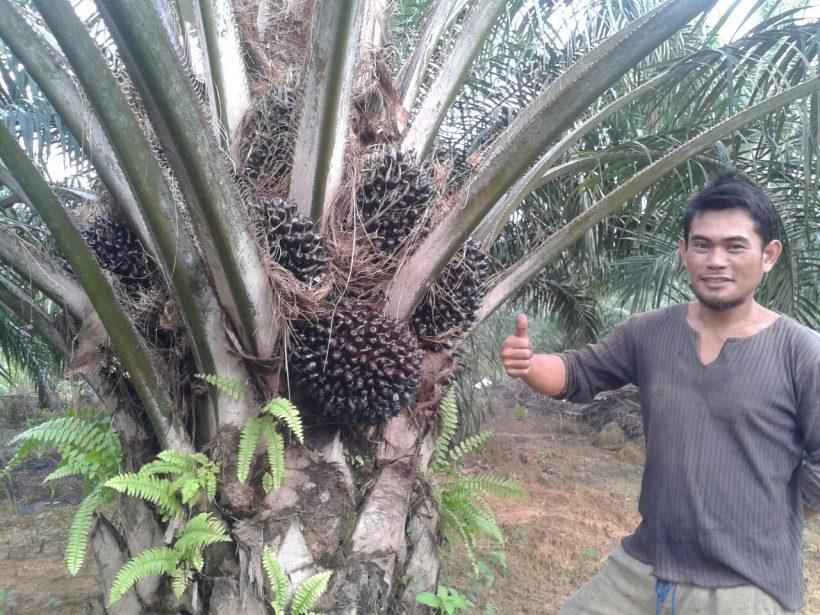 Oil Palm Trees Testimony