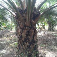 Organic Fertilizer Palm Oil Testimony 27 March 2017