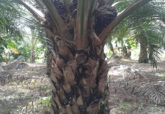 Organic Fertilizer Palm Oil Testimony 27 March 2017
