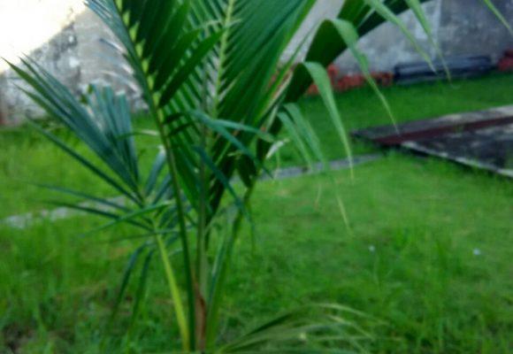 SOS Organic liquid Fertilizer testimony for coconut plant