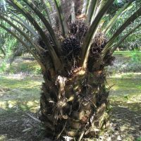 SOS Organic Fertilizer Testimony – Palm Oil Trees