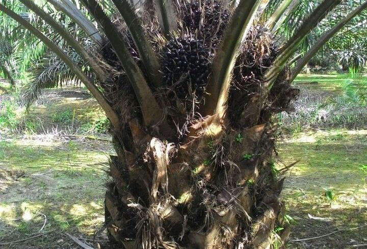SOS Organic Fertilizer Testimony – Palm Oil Trees
